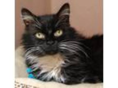 Adopt Irene a Domestic Longhair / Mixed cat in Des Moines, IA (24141425)