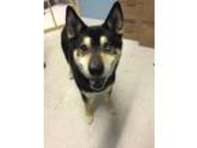 Adopt Jax a Black - with Tan, Yellow or Fawn Husky / Mixed dog in Germantown