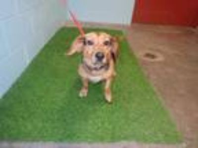 Adopt AVOCADO a Black - with Brown, Red, Golden, Orange or Chestnut Beagle /