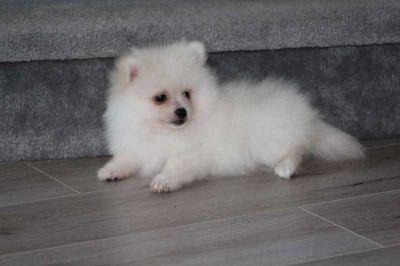 AKC Pomeranian - Leo