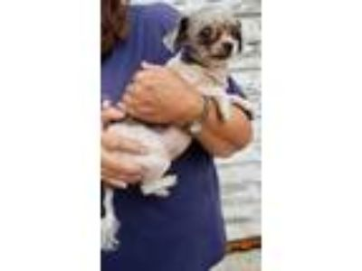 Adopt Apple a Shih Tzu