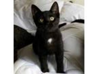 Adopt Monroe a Black (Mostly) Domestic Shorthair (short coat) cat in Lombard