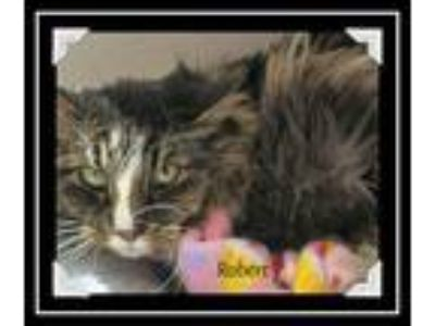 Adopt Robert a Gray, Blue or Silver Tabby Maine Coon (long coat) cat in