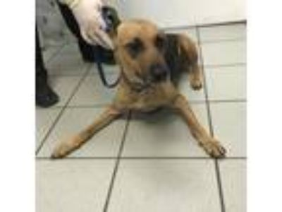 Adopt Sweetie a Black Shepherd (Unknown Type) / Mixed dog in Tampa