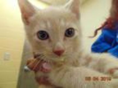 Adopt PEATY a Orange or Red Domestic Shorthair / Mixed (short coat) cat in