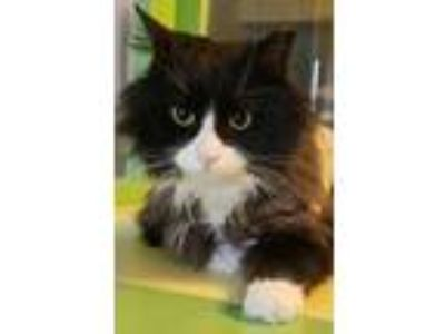 Adopt Catrick Stewart a All Black Domestic Longhair / Mixed cat in Brimfield