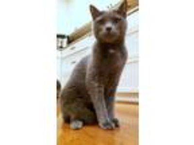 Adopt FILBERT & NUTELLA - Offered by Owner Adult pair a Russian Blue