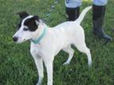 Adopt Luna a White - with Black Pointer / Miniature Pinscher / Mixed dog in