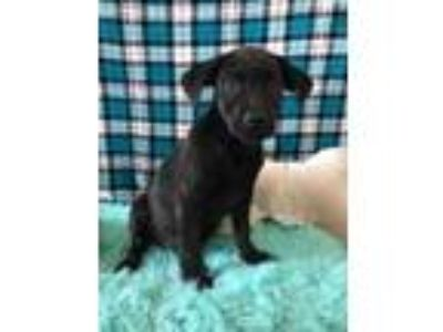 Adopt Romy a Black Retriever (Unknown Type) / Mixed dog in Wichita Falls