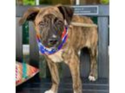 Adopt Clark a Brindle - with White Hound (Unknown Type) / Boxer / Mixed dog in