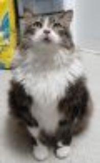 Mr. Beaumont Domestic Long Hair Cat