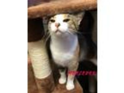 Adopt mercedes a Domestic Short Hair