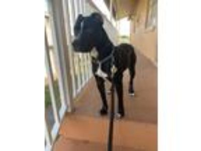 Adopt Tyson a Black - with White American Pit Bull Terrier / Mixed dog in Saint