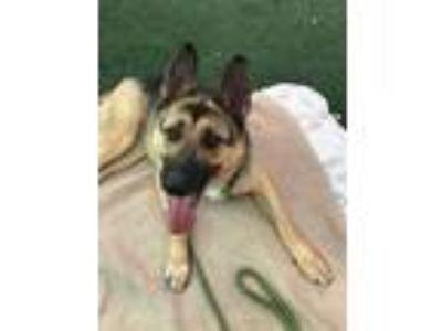 Adopt Pepper a Brown/Chocolate - with Tan German Shepherd Dog / Mixed dog in