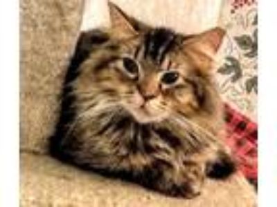 Adopt Fatima a Tiger Striped Domestic Longhair (long coat) cat in Faribault
