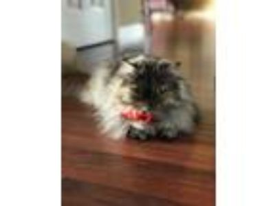 Adopt Fuzzy Wuzzy a Tan or Fawn (Mostly) Persian cat in Greenback, TN (25906811)