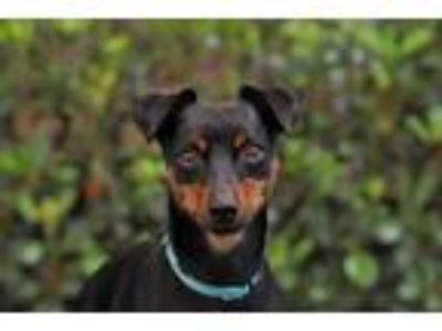 Adopt Rocky a Miniature Pinscher / Mixed dog in San Diego, CA (25911962)