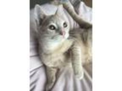 Adopt Marshmallow a Tan or Fawn (Mostly) Domestic Shorthair (short coat) cat in