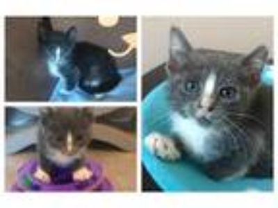 Adopt a Gray or Blue (Mostly) Domestic Shorthair / Mixed (short coat) cat in