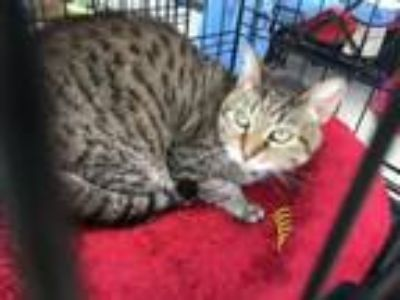 Adopt Mimsy a Domestic Short Hair