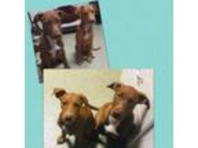 Adopt Wednesday a Doberman Pinscher, Pit Bull Terrier