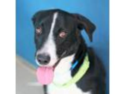 Adopt *LORENZO a Black - with White Border Collie / Labrador Retriever / Mixed