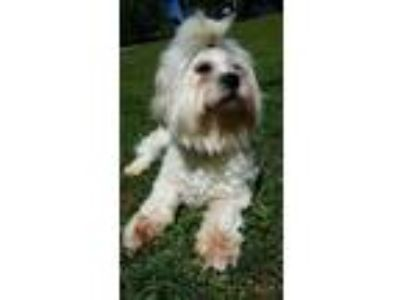 Adopt Bobby a White Lhasa Apso / Mixed dog in Lawrenceville, GA (13696539)