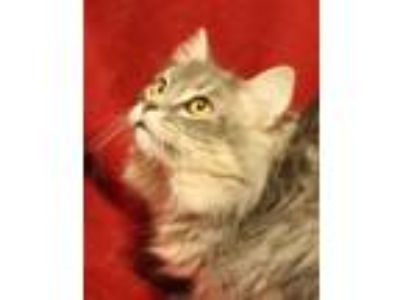 Adopt Sherlock a Gray, Blue or Silver Tabby Domestic Longhair (long coat) cat in