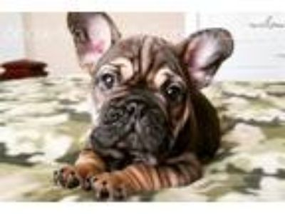 Unique Red Sable French Bulldog Available!
