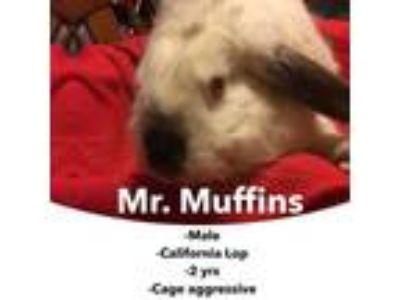 Adopt Mr. Muffins a Californian, Lop Eared