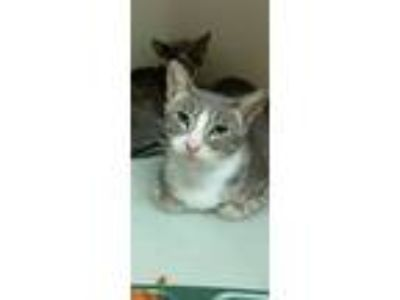 Adopt Kiki a Calico or Dilute Calico Calico (short coat) cat in Inez