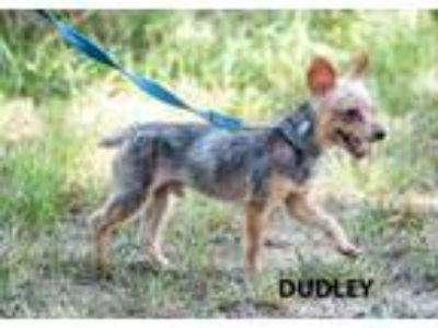 Adopt Dudley a Yorkshire Terrier