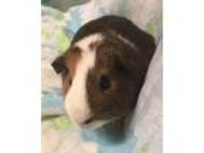 Adopt Tippy a Short-Haired