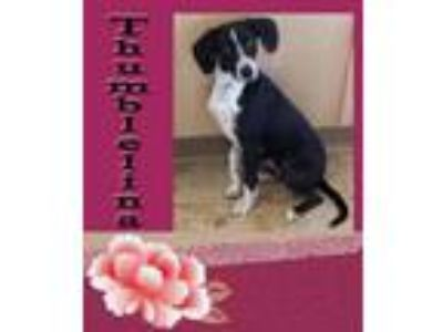 Adopt Thumbelina a Whippet, Terrier