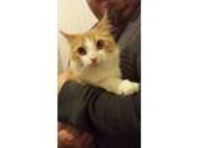 Adopt Ronan a Orange or Red Tabby Domestic Mediumhair (medium coat) cat in