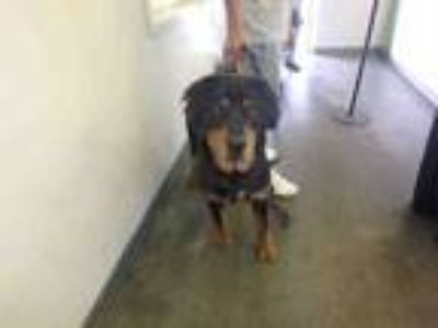 Adopt DOZER a Mixed Breed, Rottweiler