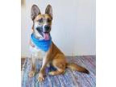 Adopt Nolan a German Shepherd Dog, Mixed Breed