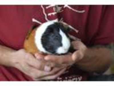 Adopt Danny Boy a Calico Guinea Pig (short coat) small animal in Brooklyn