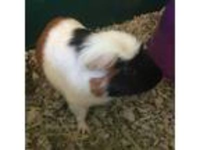 Adopt Star a Calico Guinea Pig (short coat) small animal in Burlingame