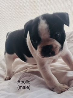 Boston Terrier PUPPY FOR SALE ADN-94298 - Boston Terrier Puppies  AKC