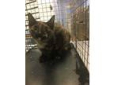 Adopt Panola Rd and Snapfinger Dr -2 a All Black Domestic Shorthair / Domestic