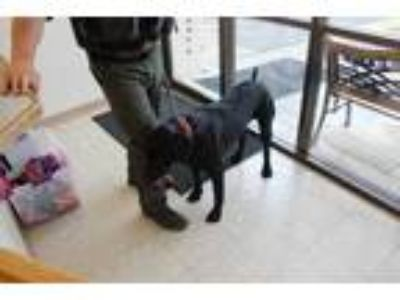 Adopt Rambo a Black Labrador Retriever / Mixed dog in Albany, OR (25353459)