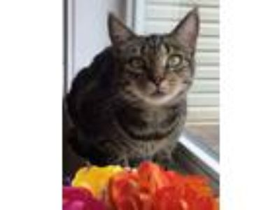 Adopt Penny a Tabby