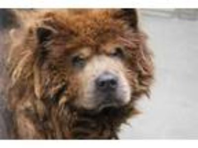 Adopt STRAY a Brown/Chocolate Chow Chow / Mixed dog in Dallas, TX (25939071)