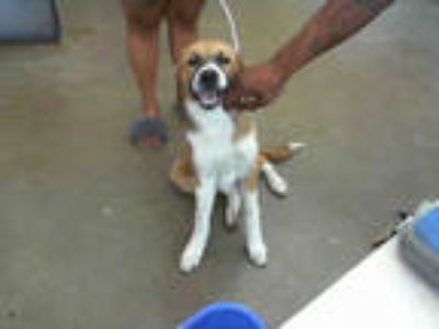 Adopt BELLA a Tricolor (Tan/Brown & Black & White) Border Collie / Mixed dog in