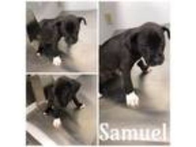 Adopt SAMUEL a Pit Bull Terrier, Mixed Breed