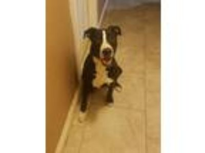 Adopt Scout a Black - with White American Pit Bull Terrier / Border Collie dog