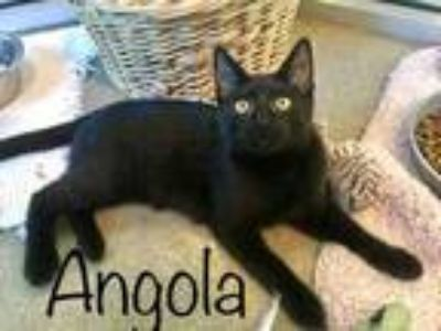 Adopt Angola a All Black Domestic Shorthair / Domestic Shorthair / Mixed cat in