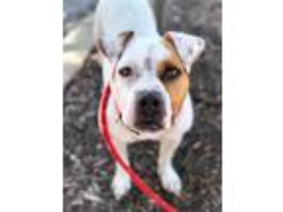 Adopt Gail a Pit Bull Terrier, Mixed Breed