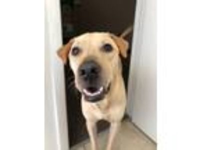 Adopt Charlie a Tan/Yellow/Fawn Labrador Retriever / Basenji / Mixed dog in